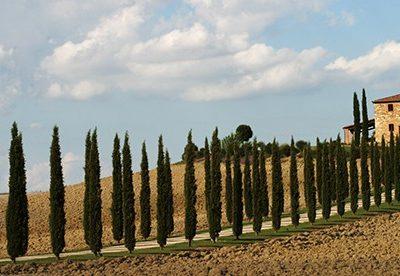 Italian Cypress Tuscany
